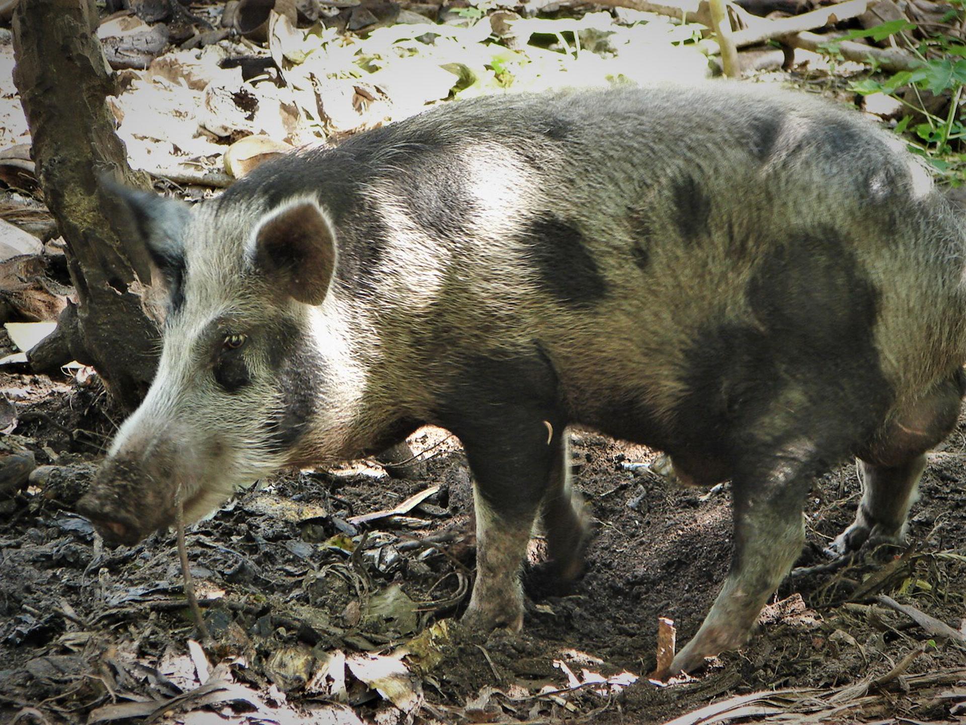 Le porc domestique est le principal mammifère terrestre d'Océanie. L'un des récits racontés par Qasvarong est le mythe du Cochon géant (nqo t' Enwut) qui aurait dévasté l'atoll voisin des îles Reef. (photo AF, 2006)